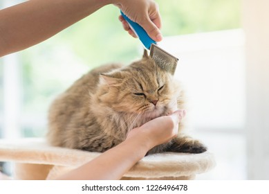 Asian woman using a comb brush the Persian cat