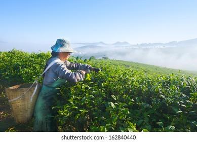 asian woman works on tea plantation in China Yunnan