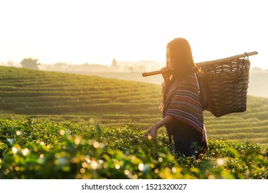 Asian worker farmer women were picking tea leaves for traditions in the sunrise morning at tea plantation nature. Lifestyle Concept