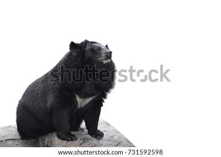 asiatic black bear on white background の写真素材 今すぐ編集
