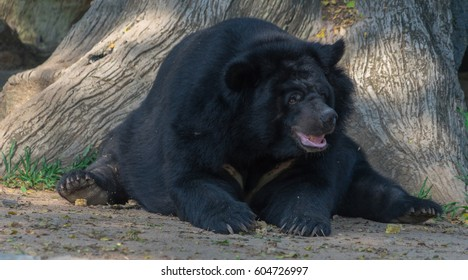 Asiatic black bear in an open air zoo in Thailand.