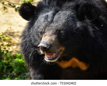 Asiatic black bear Relax in the zoo