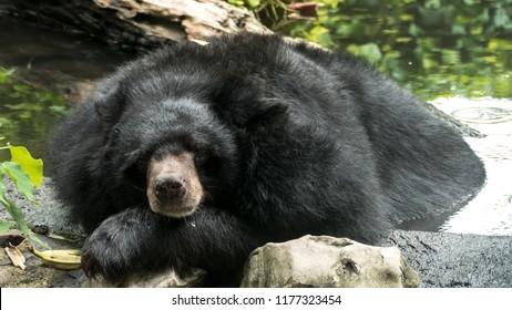 Asiatic Black Bear (Ursus thibetanus, Himalayan Black Bear) soak the water in the pool