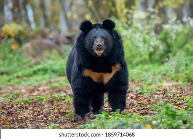 Asiatic black bear (Ursus thibetanus) in autumn forest. Wildlife scene from nature