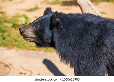 Asiatic black bear at the zoo.