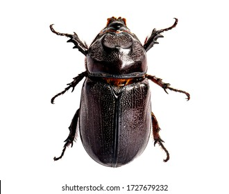 The Asiatic coconut palm rhinoceros beetle insect isolated on white background.