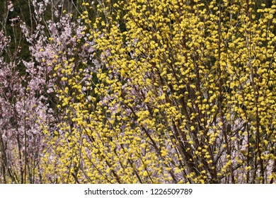 Asiatic dogwood and Cherry