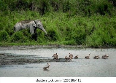 Asiatic Elephant (Elephas maximus) foraging on billabong bank of Brahmaputra River and Spot-billed Pelicans on foreground, Kaziranga National Park, Assam state, India.