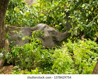 Asiatic Elephant munching leaves in Corbett Tiger Reserve , India.