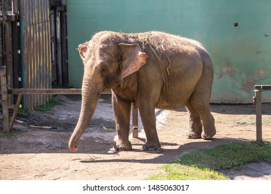 Asiatic elephant at the Pomerode Zoo in Santa Catarina, Brazil - May 4, 2019: Asiatic elephant at the Pomerode Zoo in Santa Catarina Brazil.