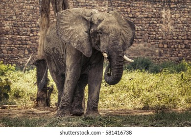 Asiatic Elephant/Indian Elephant/Indian Elephant