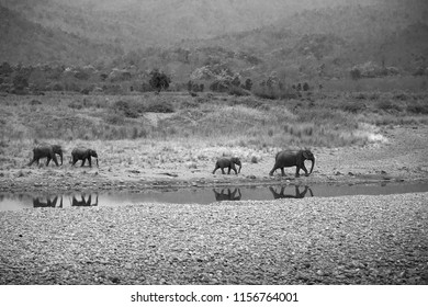 Asiatic elephants and reflection on the water of Ram Ganga river, Wildlife National Park, India
