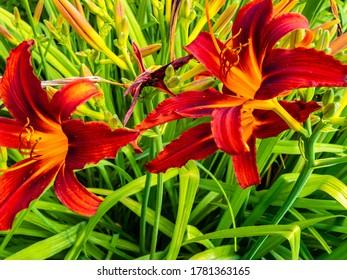 Asiatic Hybrid Lily (Lilium hybridum) in garden