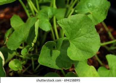 Asiatic leaf