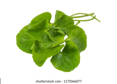 Asiatic Leaf Herb gotu kola, indian pennywort, centella asiatica, tropical herb isolated on white background. ayurveda herbal medicine inhibited or slowed growth of cancer cells Help prevent cancer