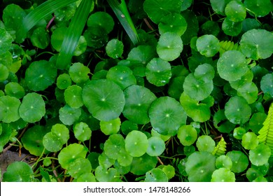 Asiatic Leaves - Green Leaf on dark black background, Water drop on Asiatic pennywort, Centella asiatica, Medical herb concept