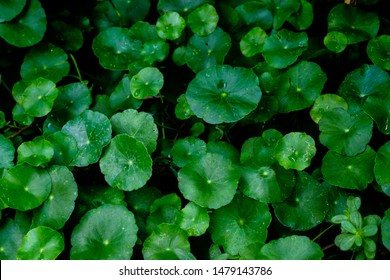 Asiatic Leaves - Green Leaf on dark black background, Water drop on Asiatic pennywort, Centella asiatica, Medical herb concept, natural green plants under sunlight using for background or wallpaper.