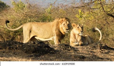 Asiatic Lion family