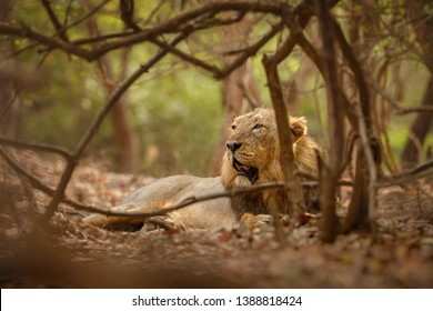 Asiatic lion in the nature habitat in Gir forest. Very rare animal species. Gir National Park in India, Gujarat. Panthera leo persica.