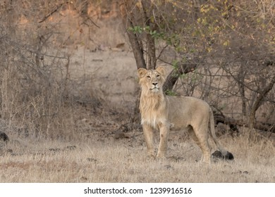 Asiatic Lion (Panthera leo leo) - Attention