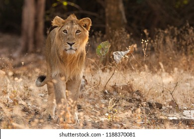 Asiatic lion (Panthera leo leo) in Gir Forest National Park in Gujarat (India)