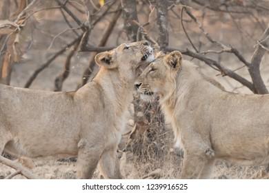 Asiatic Lion (Panthera leo leo) - Greetings