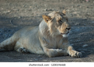 Asiatic lion (Panthera leo leo). Lioness in captive conditions. Devalia. Sasan Gir. Gujarat. India.