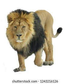 Asiatic lion (Panthera leo persica) on white background