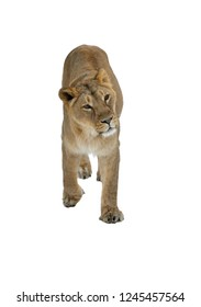 Asiatic lion (Panthera leo persica) on white background. Female
