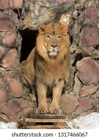 Asiatic lion (Panthera leo persica) sitting in cave