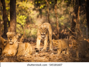 The Asiatic lion (Panthera leo persica) is a lion subspecies that exists as a single population in India's Gujarat state. family lion in wildlife.