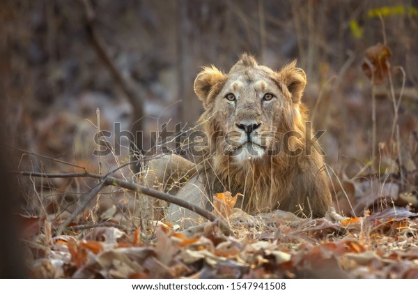 Asiatic lion is a Panthera leo leo population in India. Its range is restricted to the Gir National Park and environs in the Indian state of Gujarat.
