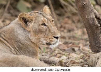 Asiatic Lion (Panthera leo leo) - Portrait