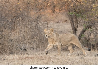 Asiatic Lion (Panthera leo leo) - Quick March