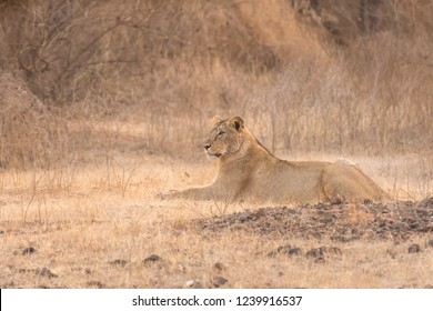 Asiatic Lion (Panthera leo leo) - Resting in the Grass