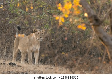 Asiatic Lion (Panthera leo leo) - Survey the Territory