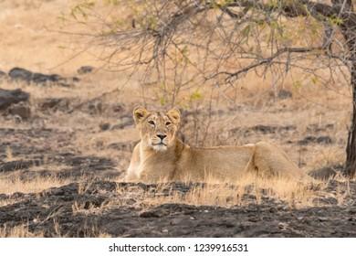 Asiatic Lion (Panthera leo leo) - Under the Bush
