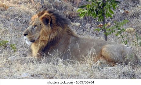 Asiatic lion in Sajjangarh Biological Park, Udaipur, Rajasthan, India