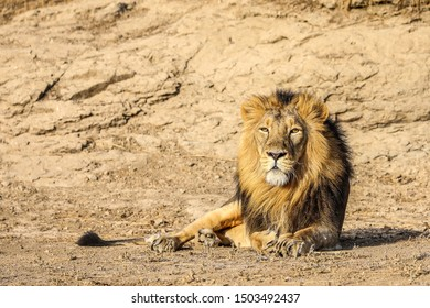 Asiatic Lion sitting in hot summer day