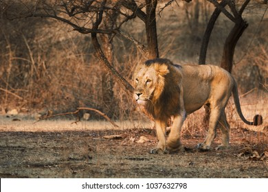 Asiatic Lion Walking freely in Gir Forest