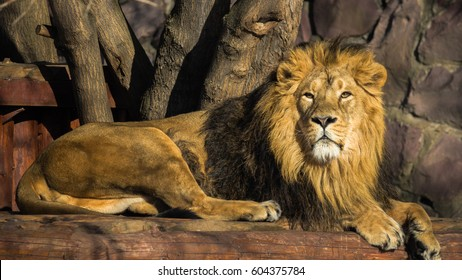 The Asiatic lion.The Asiatic lion was widespread in southern Eurasia from Greece to India. Now there are about 523 in the Gir reserve in Gujarat, India.
