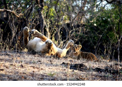 Asiatic Lioness and cub in forest area