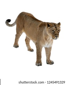 Asiatic lioness (Panthera leo persica) on white background. Female