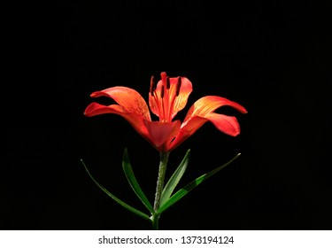 Asiatic or Orange Lily on the blurred black background. Blooming flowers (Lilium bulbiferum) in the countryside garden