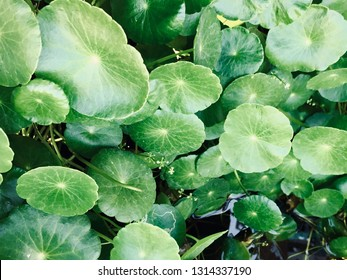 Asiatic Pennywort leaves (Centella asiatica), Traditional herbal medicine