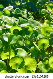 Asiatic Pennyworth Leaves (Centella asiatica) Traditional herbal medicines