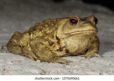 Asiatic Toad (Bufo gargarizans) in the northern hills of Beijing Province, China, Asia