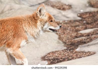 Asiatic Wild dog