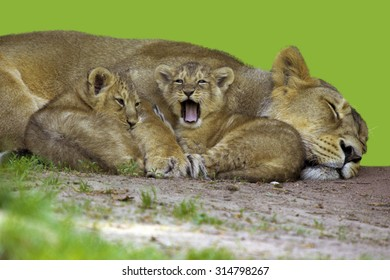 Asiatische Lions asiatic images stock photos vectors