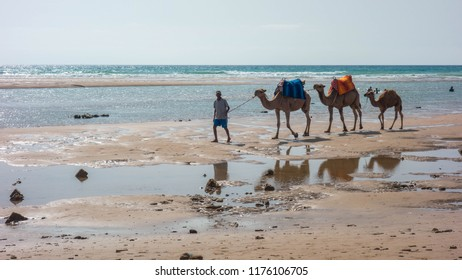 Asilah, Morocco; July, 9/2018: Dromedaries on a beach in Morocco